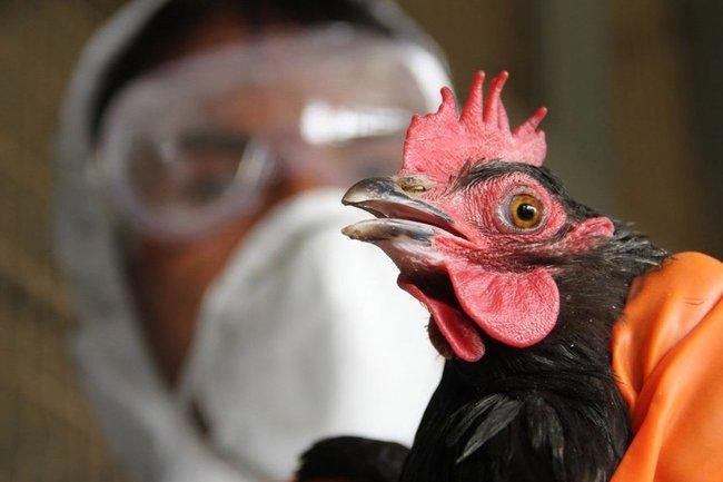 очаг гриппа птиц