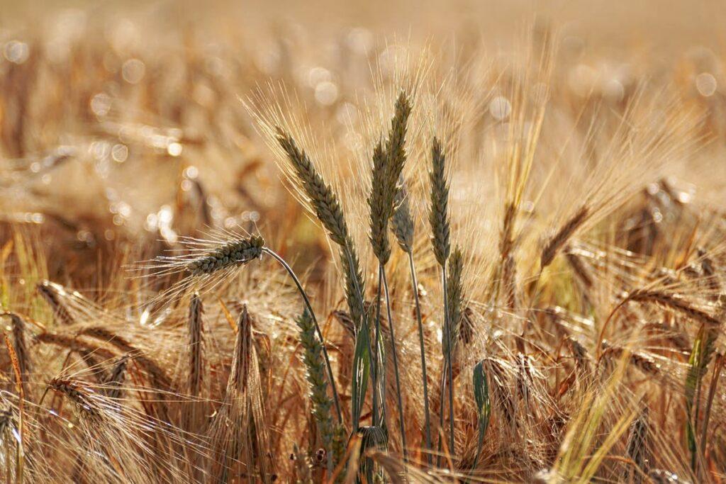 цен на пшеницу
